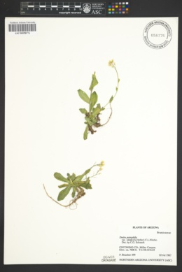 Image of Draba viridis