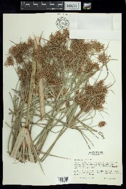 Image of Cyperus giganteus