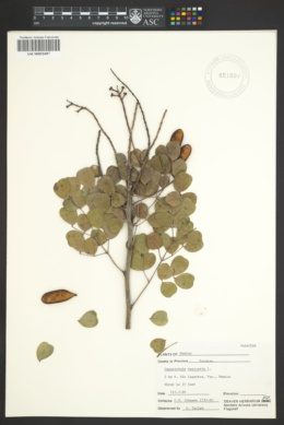 Image of Caesalpinia vesicaria