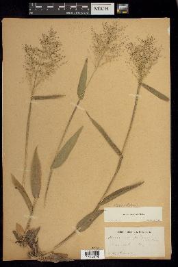 Dichanthelium sphaerocarpon image