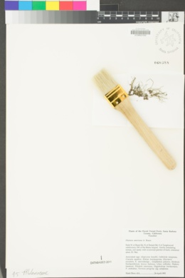Pilularia americana image