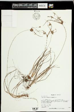 Image of Cyperus grayoides