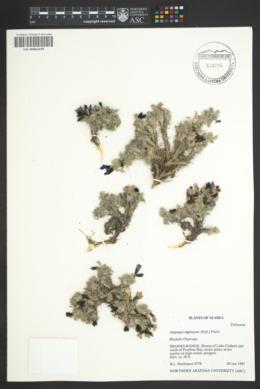 Image of Oxytropis nigrescens