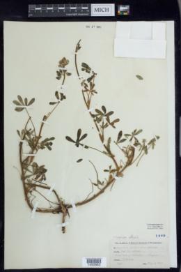 Lupinus affinis image