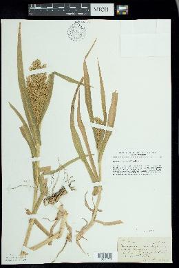 Panicum miliaceum image