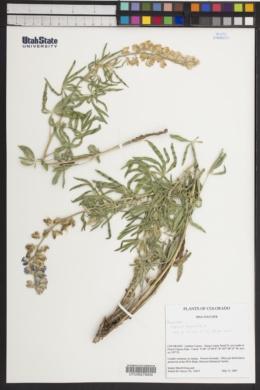 Lupinus argenteus image