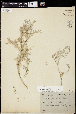 Astragalus aridus image