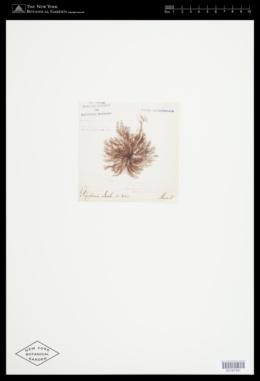 Image of Polysiphonia jacobii
