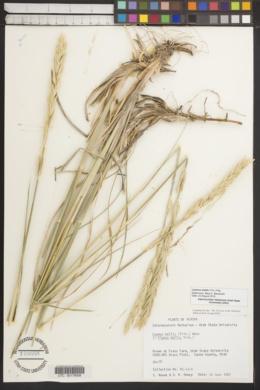 Image of Leymus mollis