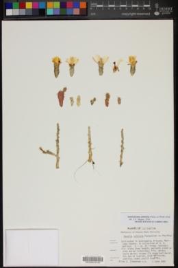Image of Opuntia salmiana