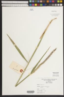 Elymus abolinii image