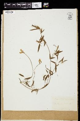Lathyrus pratensis image