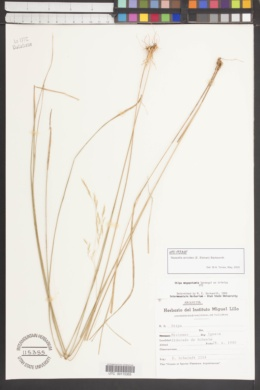 Image of Nassella airoides