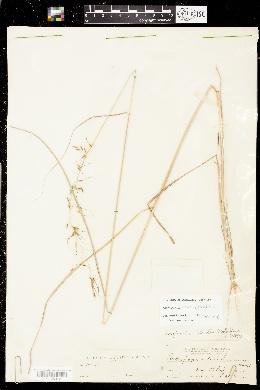 Image of Sorghastrum elliottii