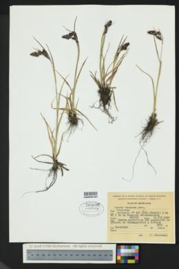 Luzula racemosa image