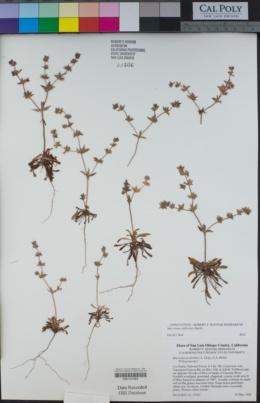 Mucronea californica image