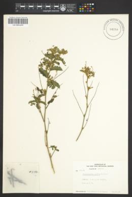 Image of Benthamantha mollis