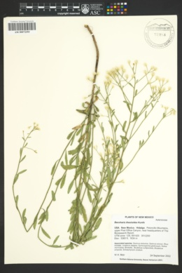 Baccharis thesioides image