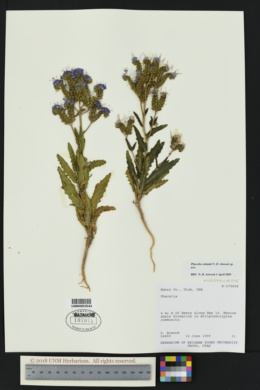 Phacelia cottamii image