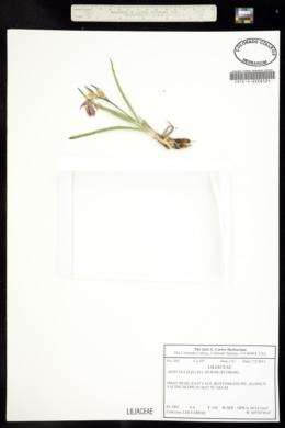 Zigadenus elegans image