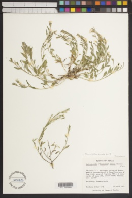 Bouchetia erecta image