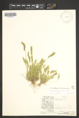 Vulpia octoflora var. hirtella image