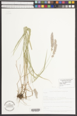 Melica ciliata image