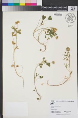Image of Trifolium ciliolatum