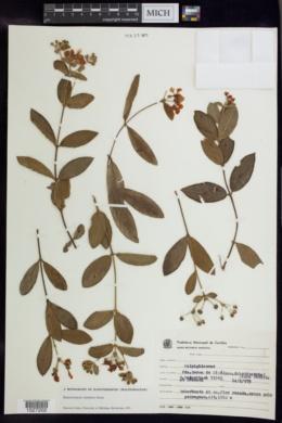 Banisteriopsis cipoensis image