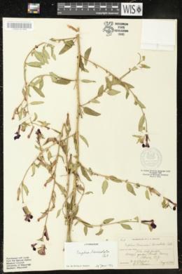 Cuphea lanceolata image