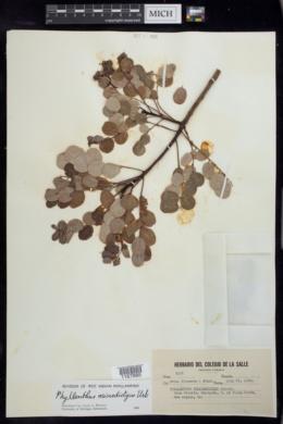 Image of Phyllanthus microdictyus