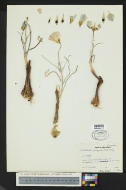 Calochortus ambiguus image