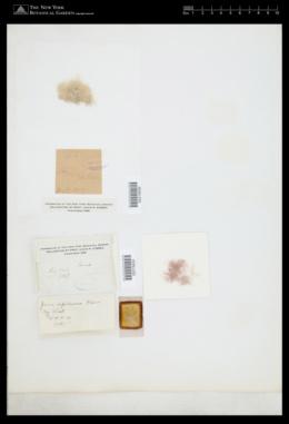 Jania capillacea image