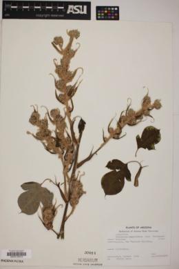 Tetrapanax papyriferus image