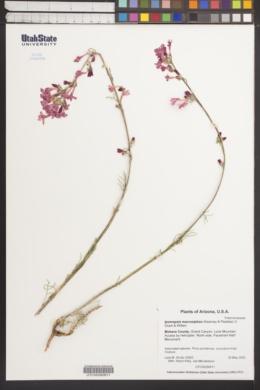 Image of Ipomopsis macrosiphon