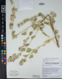 Image of Malacothamnus helleri