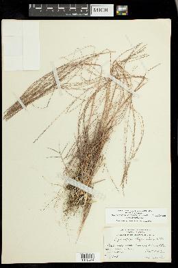 Gymnopogon chapmanianus image