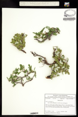 Salix reticulata image