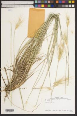 Psathyrostachys fragilis image
