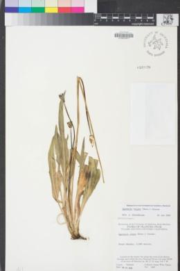 Agoseris × elata image