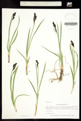 Carex scopulorum image