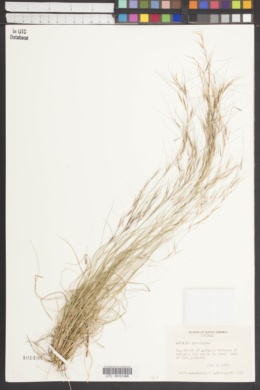 Image of Aristida circinalis