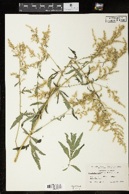Image of Artemisia lactiflora