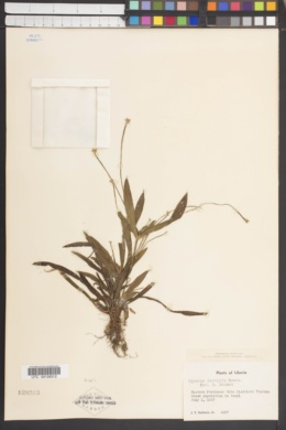 Image of Cyperus fertilis