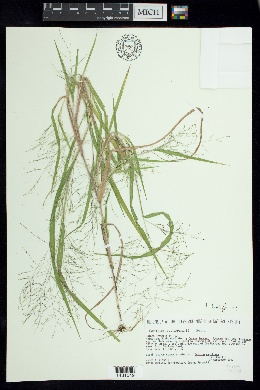 Image of Panicum tuckermanii