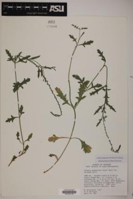 Verbena xylopoda image
