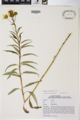 Image of Helianthus intermedius