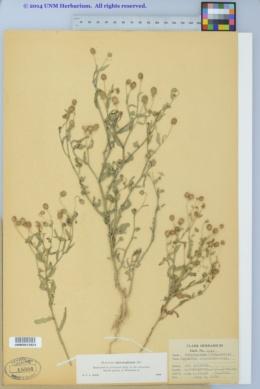 Helenium microcephalum image