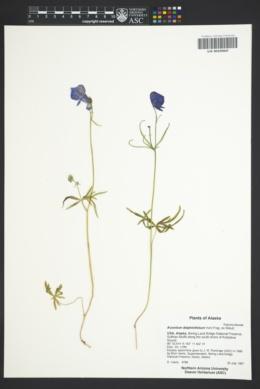 Image of Aconitum delphiniifolium