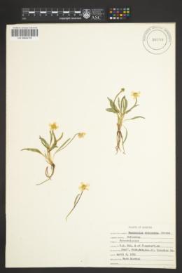 Ranunculus oreogenes image